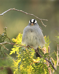 White-crown Sparrow by Christine Haines (chaines9), on Flickr