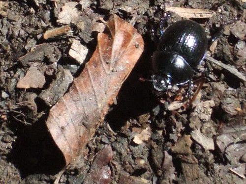 blackbeetles