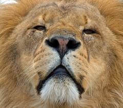 Kafara, the Lion, WHF (Hani London) Tags: uk portrait zoo kent lion bigcat whf mywinners platinumphoto impressedbeauty flickrdiamond theunforgettablepictures kafara vosplusbellesphotos flickrbigcats