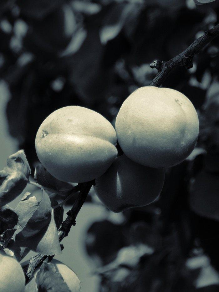 Albaricoques II (Apricot)
