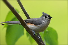 (cindyz48) Tags: bird titmouse