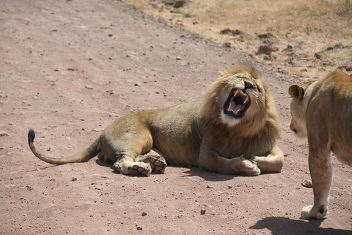 Lion greets Lioness - Ngorongoro Crater, Tanzania