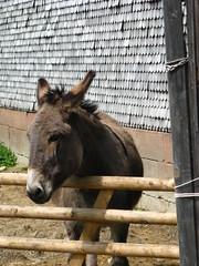 Taking a sunbath (x3 Nostalgie x3) Tags: donkey esel ne hessenpark
