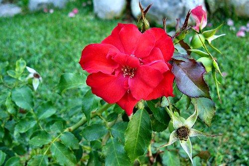 Rosa 'Sanguinea' (rq) - 03