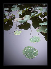 leafs (biancavanderwerf) Tags: china travel green nature water drops twilight bianca leafs purper earthasia graphicmaster