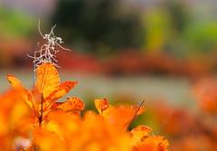 L'autunno nel carso goriziano... (paolo-55) Tags: carso gorizia cotinuscoggygria sommaco scotano 105mmvrmicronikkor nikond300 doberdòdellago carsogoriziano