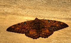 Ascalapha odorata (purolipan) Tags: raw moth nocturna hdr polilla ascalaphaodorata blackwitch noctuid kartpostal purolipan mictlanpapalotl