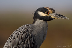 Night Heron Profile (Nick Chill Photography) Tags: california portrait bird eye nature animal closeup fauna photography image personal zoom wildlife profile stock feathers headshot wetlands tidal animalia avian imperialbeach dx tidelands shorebird nightheron naturesfinest nyctanassaviolacea wadingbird yellowcrowned tijuanasloughnationalwildliferefuge tijuanaestuary avianexcellence sigma150500 thewonderfulworldofbirds researchpreserve preeningbeak