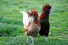 Pair of Funky Chickens