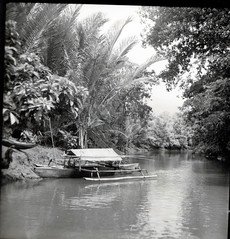Prau and sago palms (Metroxylon sagu) on the Labo River