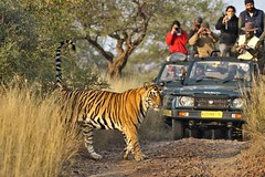 ADS_000006756 (dickysingh) Tags: wild india cat outdoor wildlife tiger tourists safari bigcat aditya ranthambore singh ranthambhore dicky adityasingh ranthamborebagh theranthambhorebagh tigertours wwwranthambhorecom