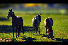 Equine (KY-Photography) Tags: ca autumn trees light sunset shadow red portrait horses horse sun ontario canada green fall nature field grass animal yellow backlight pose leaf raw mare dof action bokeh ky guelph silhouettes nikkor khalid equine mane allrightsreserved kal foal uog sidelight friesians hbw capturenx nikond80 18135mmf3556g kyphotography equineguelph