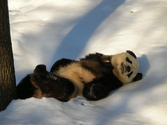 Tian's Playboo Pose (osito_tai) Tags: china bear animal panda nationalzoo giantpanda fonz tiantian endangeredspecies blueribbonwinner