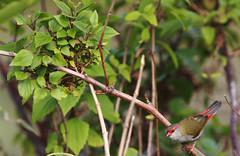 Red-browed Finch (Mehdi Kavousian) Tags: red brown black bird grey sydney australia nsw common endemic birdwatching wetland olivegreen warriewood firetail redbrowedfinch neochmiatemporalis warriewoodwetland reservedarea