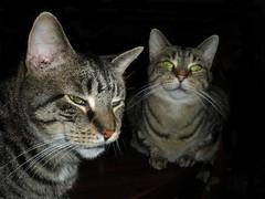 Bruiser and Mobius (k2sleddogs) Tags: cats pets macro cat kitties