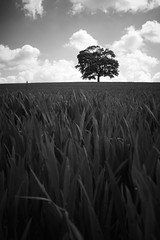 The Breeze (ReportageImages) Tags: leica england sky cloud tree field 28mm rangefinder somerset summicron m8 lone croup