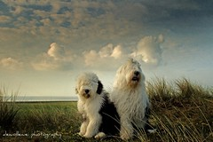 Sophie and Sarah (dewollewei) Tags: old art english sheepdog s oes oldenglishsheepdog sheepdogs oldenglishsheepdogs oosterend sweetexpression platinumheartaward dewollewei terschellin bbotail
