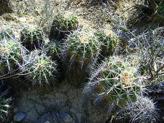Ferocactus flavovirens (amantedar) Tags: cactus ferocactus ferocactusflavovirens