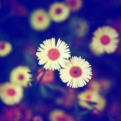 Flowers of love 2 (JAG_50D) Tags: barcelona flowers autumn light summer sky españa naturaleza flores love sol nature colors azul clouds spain europa europe bcn natura catalonia cielo verano daisy margarita catalunya bellisperennis gettyimagesiberiaq2