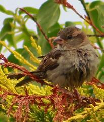 Bedraggled In The Leylandii ~ Young  House Sparrow (aaron_eos_photography) Tags: summer cloud dog house tree bird dogs nature birds june fence garden lunch spring labrador cloudy dove wildlife air flight young saturday feeder starling sparrow feed juvenile mid collared leylandii