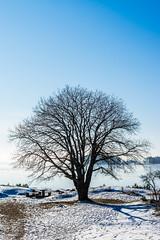 wintertree (Mange J) Tags: 50mmf17 k3ii magnusjakobsson pentax sverige sweden vã¤rmland blue clear cold freezing frost ice pentaxart sky tree winter vã¤rmlandslã¤n se