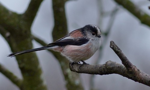 The inevertable Long Tailed Tit