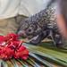 Rothschild's porcupine Gamboa Wildlife Rescue pandemonio 2017 - 03