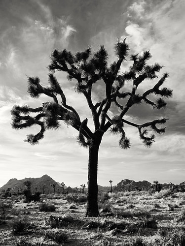 Joshua Tree by you.