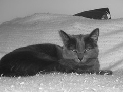 Loki now just left to watch the cameraman (jon_a_ross) Tags: cats cat loki dsh graycat greycat domesticshorthair