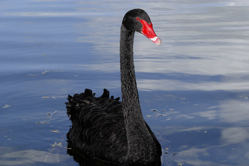 A black swan in the water, facing the camera