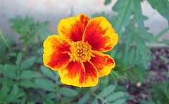 Marigold (cullum, heather) Tags: red sky orange brown sunlight plant flores flower macro green leaves canon outside outdoors stem pretty heather small super seeds dirt upclose marigold grew planted multch merigold cullum