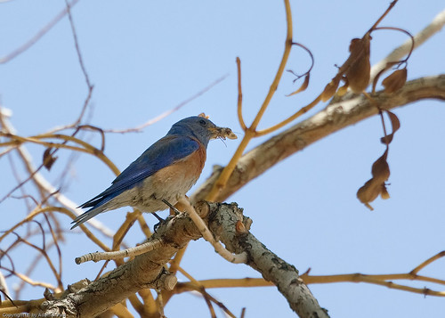 Western Bluebird by you.