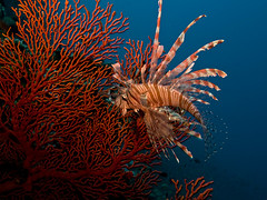 Common lionfish (1) (Paul Flandinette) Tags: ocean fish photography nikon underwater lionfish komodo pteroisvolitans underwaterphotography commonlionfish poisonousfish venomousfish beautifulfish paulflandinette