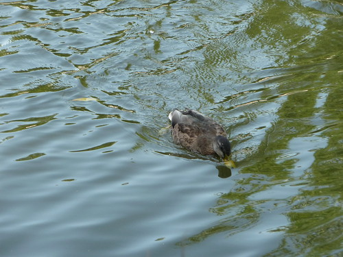 Duck on the river  026