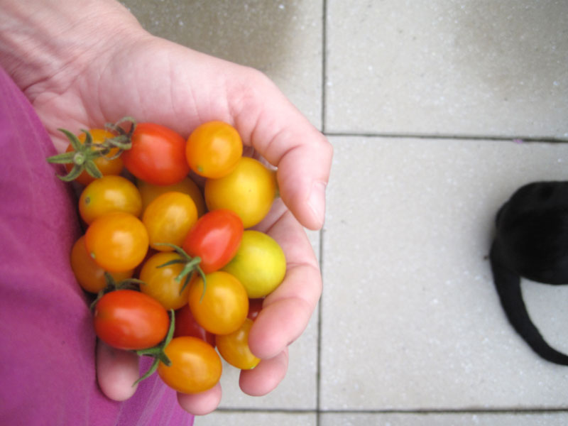 foraging: tomatoes