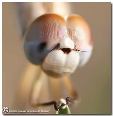 Dragonfly Portrait (ibrahem N. ALNassar) Tags: portrait macro ex canon eos dragonfly d n sigma 40 f28 dg 105mm ابراهيم الكويت كويت alnassar كويتي كانون anawesomeshot ibrahem النصار