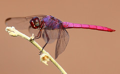 Dragonfly -  Male Roseate Skimmer (Orthemis ferruginea) (gbrummett) Tags: dragon fly macro insect riparianbirdpreserveingilbertaz 5d mark ii dragonfly skimmer roseateskimmerorthemisferruginea insects flying colorful andtodayi canonef100400mmf4556lisusm physis insecte nature animal insectes libellules libellule dragonflies odonata odonates odonate
