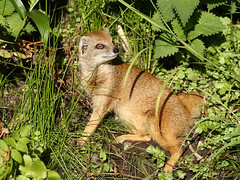 Fuchsmanguste / Yellow Mongoose (Cynictis penicillata) (Sexecutioner) Tags: portrait nature netherlands animal animals digital canon zoo tiere colorful wildlife natur 2009 apenheul tier mongoose niederlande yellowmongoose cynictispenicillata manguste vosmangoest fuchsmanguste herpestidae mywinners mangustagialla mangoustefauve copyrightsexecutioner rkamanguszta geelmuishond rooimeerkat mangostadecolagruesa gulmangust mangustalisia   mangustali