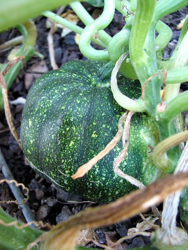 Sweet Dumpling Squash second plant