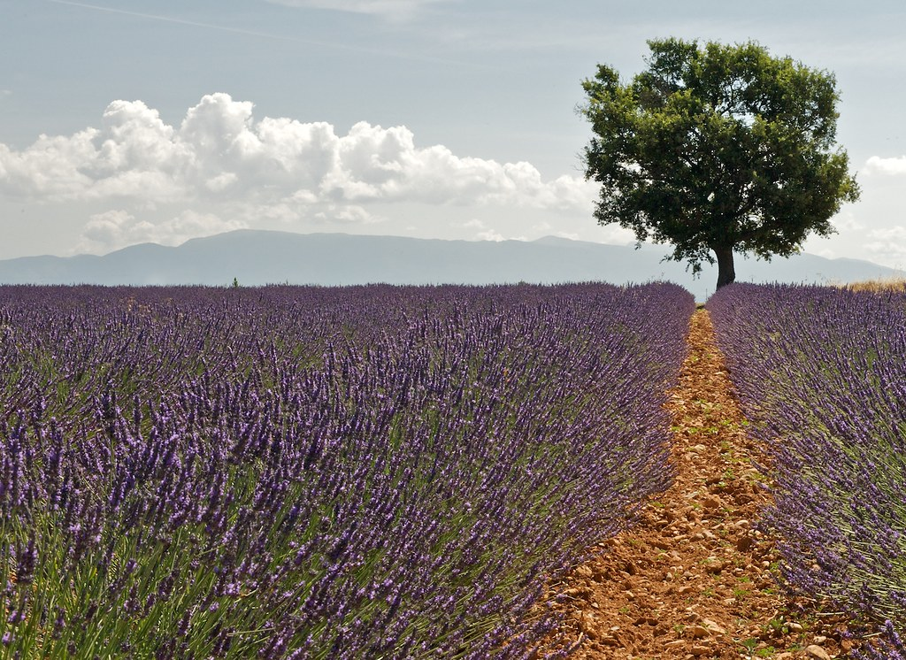 Lone tree in lavendar