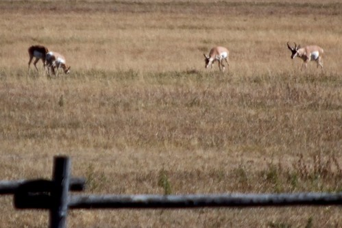 Pronghorns at Grand Teton National Park