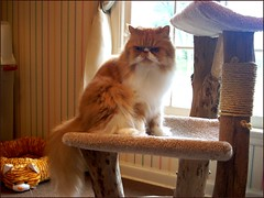 Take It Back! (iwork4toby) Tags: red orange pet cat persian bed midwest persiancat redpersian luv2explore