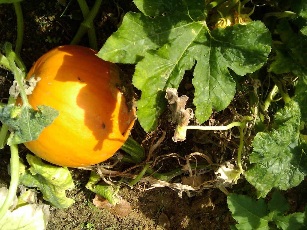 Recipe: When Life Hands You Pumpkins, You Make Pumpkin Pie