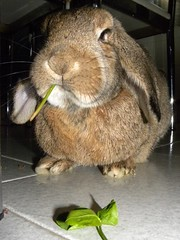 Pipa (unaerica) Tags: italy hairy pet pets cute rabbit bunny bunnies nature beauty animals closeup fur outdoors nikon friend funny italia friendship princess sweet adorable fluffy happiness ears plush moustache occhi curious animali lapin tenderness mypet coniglio cuccioli kanin coniglietto lopears orecchie unaerica pipola coniglietta coniglietti