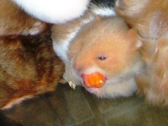 Hamsters 104 (TeTe`) Tags: hamsters