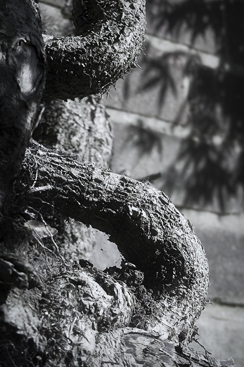 Photography - Ivy Trunk by Nicholas M Vivian