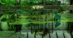 pond (wiifm) Tags: wellington botanicgardens panasonicdmctz3