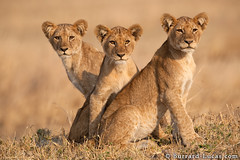 Three Lion Cubs (Will Burrard-Lucas | Wildlife) Tags: park family sisters tanzania brothers siblings safari national lions cubs katavi