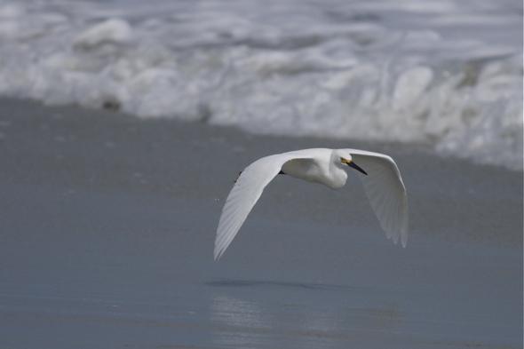 bird10_snowEgret01