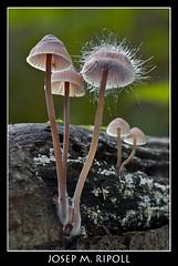 Mycena haematopus (JM Ripoll) Tags: barcelona forest mushrooms spain bosque fungus funghi pilze wald svamp mycology pilz champignons setas fong bosc foresta cogumelos fungo bolets micologia mikologia onddo perretxikoak micología mycologie olzinelles pilzkunde foraoise